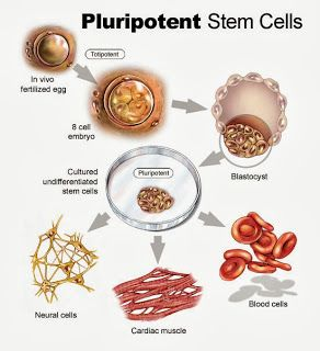 Adult stem cell research